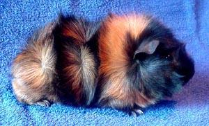 Rósettugrísinn (Abessinski naggrísinn) er bæði marglitur og með fjölbreyttar litasamsetningar. Feldurinn er snöggur og stríður og leggst í hvirvla (rósettur).