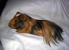 Angórunaggrís (frá Perú) er loðinn með allt að 30 cm langan og marglitan feld. Þessi naggrís er einna sjaldgæfastur.