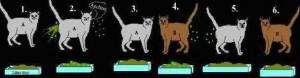 Kisa A (1) er heilbrigður smitberi sem dreifir veirunni allt í kringum sig (2) og smitar  kött B. Kisa A (3) losnar við veiruna, en kisa B skilur nú út veiru og endursmitar köttinn A (5). Kisa B losnar við veiruna (6) en þá er kisa A (5) byrjuð á nýjan leik.